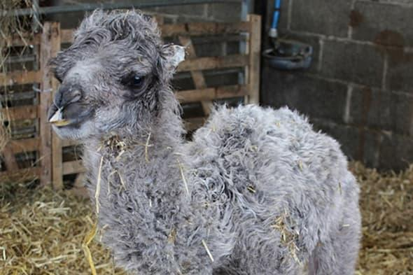Handout photo issued by Mainsgill Farm of Doris the camel's as-yet-unnamed calf at Mainsgill Farm in Richmond, North Yorkshire, the owners of the farm shop and tea shop were stunned to find Doris, one of their two camels was giving birth today - as they are both female. PRESS ASSOCIATION Photo. Issue date: Thursday April 17, 2014. Farmer Andrew and Maria Henshaw had no idea that Doris the camel, who lives with her half-sister Delilah, was in the family way until she began to calve. Mr Henshaw, who runs the Mainsgill Farm Shop near Richmond, North Yorkshire, said he half suspected Jimmy the llama in the pen next to Doris may be responsible, as he is such a rascal. But he reckoned that Doris, who has not been near a male camel from more than a year, was impregnanted before she was brought from a farm in Cornwall to North Yorkshire. See PA story ANIMALS Camel. Photo credit should read: Nichola Hammond/PA WireNOTE TO EDITORS: This handout photo may only be used in for editorial reporting purposes for the contemporaneous illustration of events, things or the people in the image or facts mentioned in the caption. Reuse of the picture may require further permission from the copyright holder.
