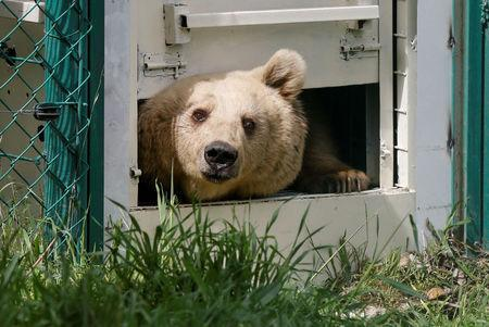 Lola the bear, one of two surviving animals in Mosul's zoo, along with Simba the lion, is seen at an enclosure in the shelter after arriving to an animal rehabilitation shelter in Jordan, April 11, 2017. Picture taken April 11, 2017. REUTERS/Muhammad Hamed
