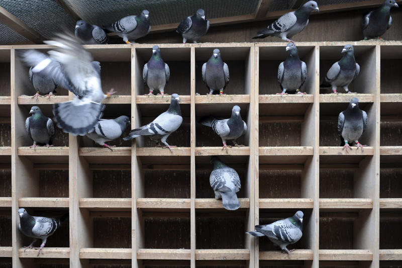 FILE - In this Wednesday, Jan. 12, 2011 file photo, pigeons fly inside their coop at Pigeon Paradise in Knesselare, Belgium. Lightning fast pigeon Bolt with a name and pedigree to match has become the world's most expensive racing bird when his Belgian breeder sold it for 310,000 euros ($400,000) to a Chinese businessman. (AP Photo/Geert Vanden Wijngaert, file)