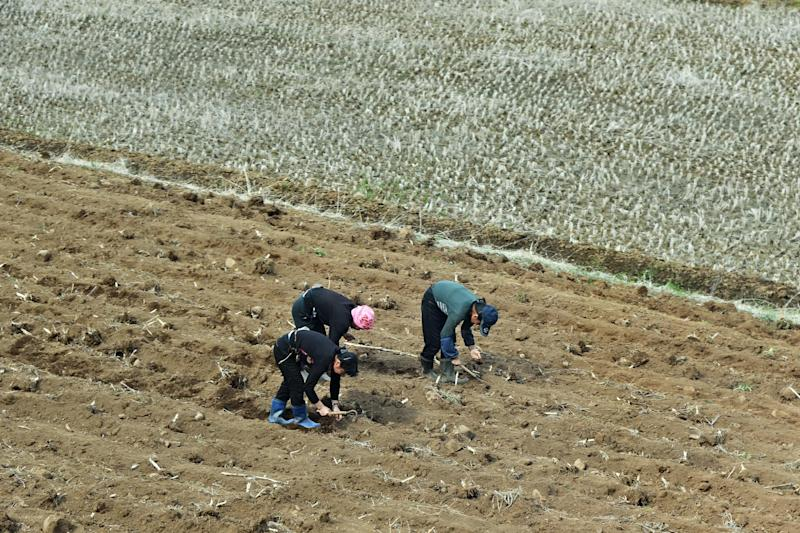 North Korean women pictured picking crops. More than 72 per cent of the 33,000 North Korean defectors in South Korea are women: iStock
