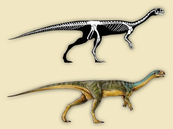 Chilesaurus diegosuarezi has characteristics of three different dinosaur groups. Its pubic bone points backward like that of an ornithischian dinosaur, perhaps because it provided the gut more surface area with which to digest plant matter, the