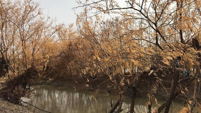 Trees damaged in Sundarbans' Mousuni due to salt-spray during Cyclone Amphan