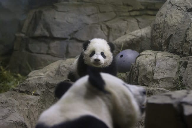 Bao Bao, the four and a half month old giant panda cub, looks towards her mother Mei Xiang, as she makes her public debut at an indoor habitat at the National Zoo in Washington, Monday, Jan. 6, 2014. Bao Bao, who now weighs 16.9 pounds (7.65 kilograms), was born to the zoo's female giant panda Mei Xiang and male giant panda Tian Tian. (AP Photo/Charles Dharapak)