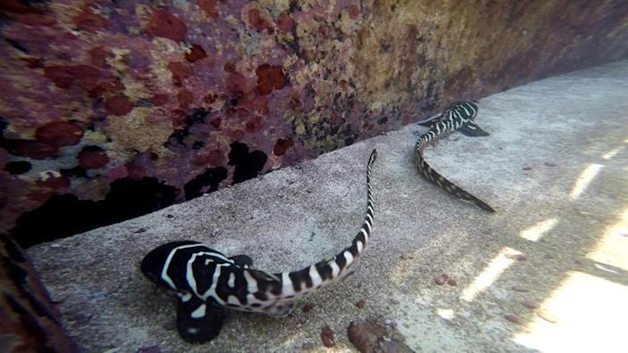 Cleo and CC, shown here, are two of the zebra shark pups born without a daddy. <cite>Tourism & Events Queensland</cite>