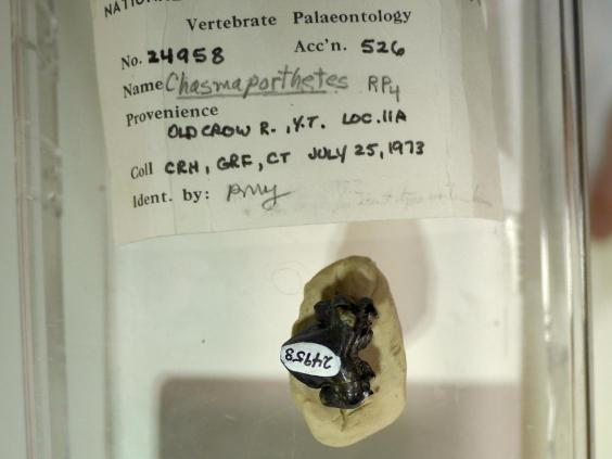 This ice age fossil tooth – tucked away for years in the collections of the Canadian Museum of Nature – belonged to the 'running hyena' (Jack Tseng)