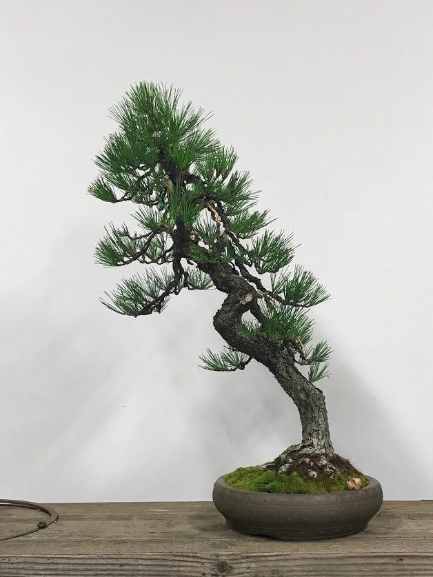 A Japanese Black Pine bonsai tree, originally grown by Juzaburo Furuzawa while he was incarcerated in a WWII internment camp, was returned Tuesday to the Pacific Bonsai Museum in Washington state.