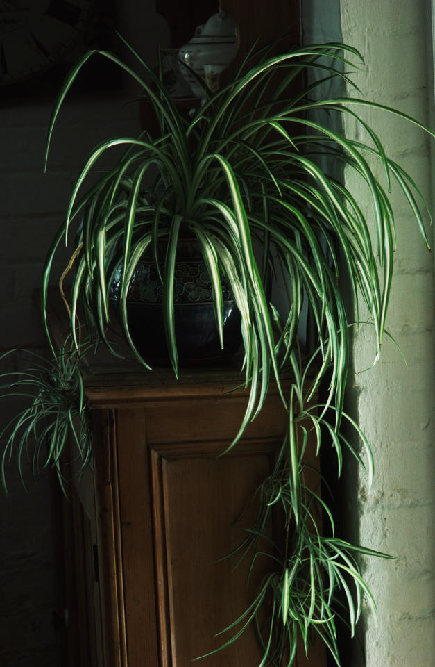 <p>This attention-grabbing houseplant can remove a huge 90% of toxins from your bedroom air in just two days, making it the perfect accessory for anyone with dust allergies. Beware: it grows pretty quickly.<br /><i>[Photo: Getty]</i> </p>