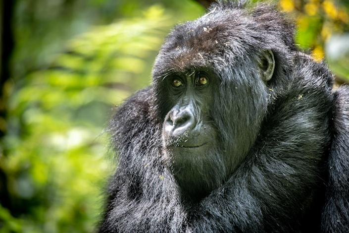 Mountain gorillas, like this one, are endangered species and according to the Associated Press, also at risk of contracting the coronavirus.