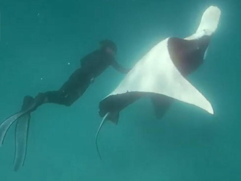 "A giant manta ray has been filmed appearing to beg a professional diver for help saving her life.The three-metre-wide sea creature is shown swimming up to snorkelling guide Jake Wilton and flipping over in the water – apparently to show him fish hooks embedded in her right eye.The footage, caught near Ningaloo Reef off Western Australia's north west coast, seems to show the manta ray then staying perfectly still as Mr Wilton gently removes the potentially deadly spikes.The animal – well known to locals and affectionately nicknamed Freckles – then swims away with a flourish as the diver emerges triumphantly with the hooks.Monty Halls, a British marine biologist aboard the boat at the time, said: ""That manta absolutely understood what was going on. Jake went down again and again and she just remained still for him.""The footage was released on Thursday by Ningaloo Marine Interactions, the tour company which Mr Wilton works for.The hero himself suggested it was all in a day's work.""I'm often guiding snorkellers in the area and it's as if she recognised me and was trusting me to help her,"" he said.""She got closer and closer and then started unfurling to present the eye to me. I knew we had to get the hooks out or she would have been in big trouble. I went for a few dives down to see how she'd react to me being close to her.""When the animal stayed calm, he approached and took out the hooks.""The manta stayed completely still in the water,"" he said.""It's pretty incredible behaviour if this is what happened,"" said David Boyle, lecturer in marine biology at the University of Plymouth. ""It's not uncommon for animals – generally mammals – to interact with divers but for one in distress to seek out assistance would be novel indeed.""Manta rays are believed to be some of the most intelligent creatures in the ocean. Unlike stingrays, they don't have an external spike and are generally harmless to humans.Experts believe the injured eye would have become infected, leading to blindness and possible death."