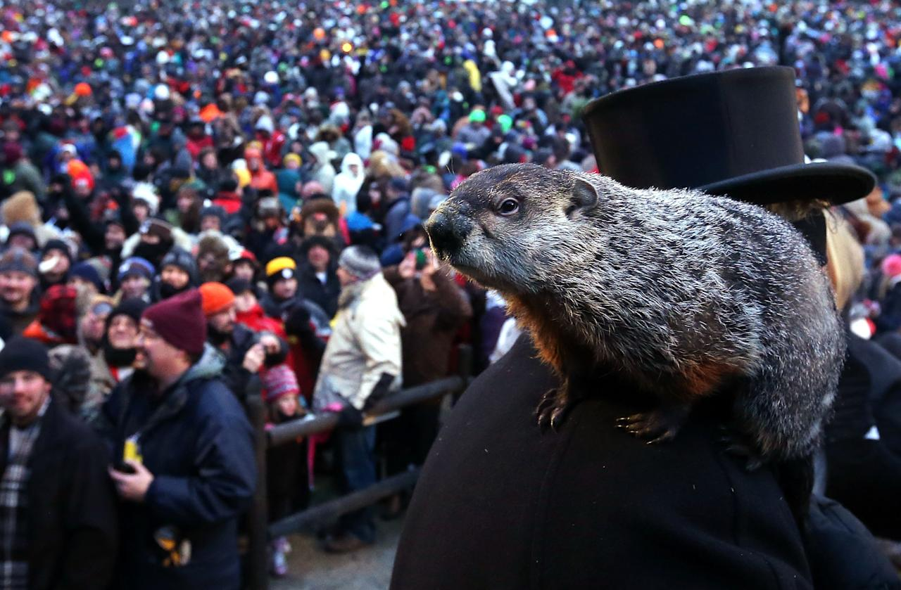 PUNXSUTAWNEY, PA - FEBRUARY 02:  Punxsutawney Phil climbs on the shoulder of groundhog co-handler John Griffiths after Phil didn't see his shadow and predicting an early spring during the 127th Groundhog Day Celebration at Gobbler's Knob on February 2, 2013 in Punxsutawney, Pennsylvania. The Punxsutawney 'Inner Circle' claimed that there were about 35,000 people gathered at the event to watch Phil's annual forecast.  (Photo by Alex Wong/Getty Images)