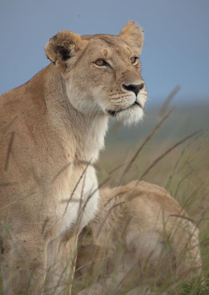 LionLions are the only cats that live in groups, which are called prides. Prides are family units that may include up to three males, a dozen or so females, and their young.(Photo is from Born Predator ? Wed at 9)