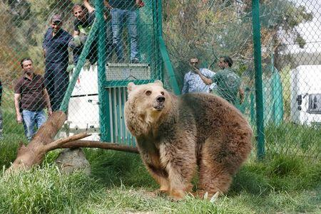 Lola the bear, one of two surviving animals in Mosul's zoo, along with Simba the lion, is seen at an enclosure in the shelter after arriving to an animal rehabilitation shelter in Jordan