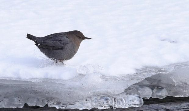 American dippers — also known as water ouzels — communicate by blinking rapidly and bobbing. (Nancy Hamoud - image credit)