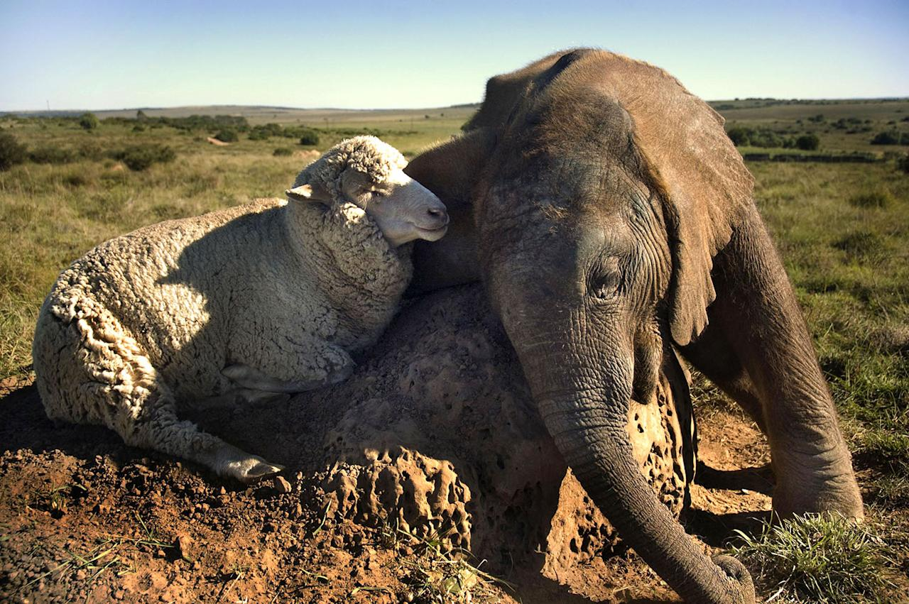 <p>A baby elephant and a sheep named Albert. (Caters News) </p>