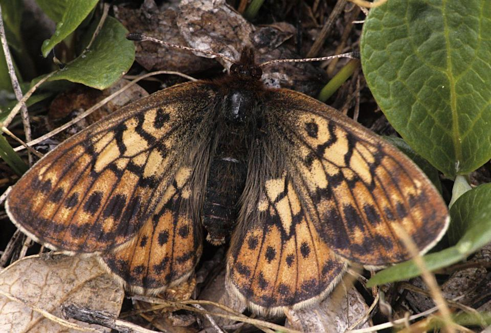 <p><strong>Uncompahgre Fritillary Butterfly - </strong>The latest new butterfly to be discovered, threats to this species include small population size, shifting climate conditions and human interaction. </p>