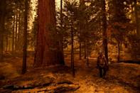 Sequoias can survive - and even thrive - in low-level fires, using the heat to open their cones and spread their seeds, but can be killed in the hotter, faster fires that are gripping California (AFP/Patrick T. FALLON)