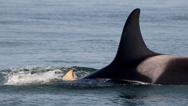 PHOTO: Researchers have spotting a grieving orca whale still holding on to her dead calf at British Columbia's Southern Gulf Islands, July 31, 2018, eight days after the death of her calf. (Taylor Shedd/Soundwatch, taken under NMFS MMPA permit #21114)