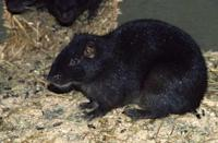 "<p><strong>Scientific classification</strong>: <em>Geocapromys brownii</em></p><p><strong>Location:</strong> Jamaica</p><p>Native to Jamaica's rural limestone hills, the hutia, which is commonly known as a coney, has long been part of the island's history. The rodents, around the size of cottontail rabbits, were first <a href=""http://caribya.com/jamaica/history/taino.indian/"" rel=""nofollow noopener"" target=""_blank"" data-ylk=""slk:hunted for food"" class=""link rapid-noclick-resp"">hunted for food</a> by indigenous Taino Indian groups living on the island centuries before European contact. While they avoid the cities, the nocturnal creatures have been seen across the island from the <a href=""https://whc.unesco.org/en/list/1356"" rel=""nofollow noopener"" target=""_blank"" data-ylk=""slk:Blue and John Crow Mountains"" class=""link rapid-noclick-resp"">Blue and John Crow Mountains</a> to the remote tropical dry forest of the the <a href=""http://jamaica-gleaner.com/gleaner/20100915/news/news3.html"" rel=""nofollow noopener"" target=""_blank"" data-ylk=""slk:Hellshire Hills"" class=""link rapid-noclick-resp"">Hellshire Hills</a>.</p><p>The rodents have faced the brunt of a changing region for decades now. Areas like the Hellshire Hills <a href=""https://link.springer.com/article/10.1023/A:1015593032374"" rel=""nofollow noopener"" target=""_blank"" data-ylk=""slk:have faced"" class=""link rapid-noclick-resp"">have faced</a> major deforestation and habitat loss, while over-hunting has become an issue. Faced with loss of habitat, the coneys have been forced to interfere with human life, eating crops and damaging tree roots in farms. Becoming a nuisance to humans is a dangerous step that could lead to even more hunting in the future. The continued damage was significant enough for the IUCN to <a href=""https://www.iucnredlist.org/species/9001/22186569"" rel=""nofollow noopener"" target=""_blank"" data-ylk=""slk:list them as endangered."" class=""link rapid-noclick-resp"">list them as endangered. </a></p>"