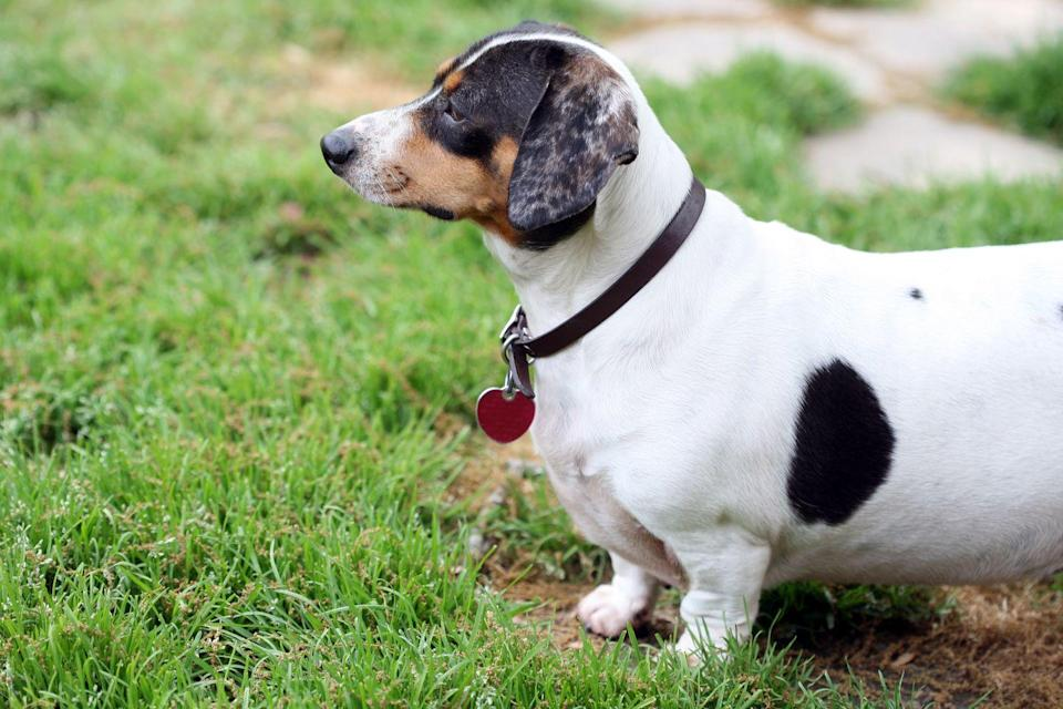 """<p>Because of their little legs and long bodies, Dachshunds aren't exactly bred for strenuous activity. Combined with their love of food and predisposition to hypothyroidism, this can lead to obesity. According to the American Kennel Club, <a href=""""https://www.akc.org/dog-breeds/dachshund/"""" rel=""""nofollow noopener"""" target=""""_blank"""" data-ylk=""""slk:weight gain is especially dangerous"""" class=""""link rapid-noclick-resp"""">weight gain is especially dangerous</a> for this breed, as too much weight can cause slipped or ruptured discs in their backs. </p>"""