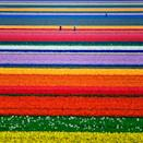 <p>These sprawling tulip fields near Amsterdam are the definition of picturesque. </p>