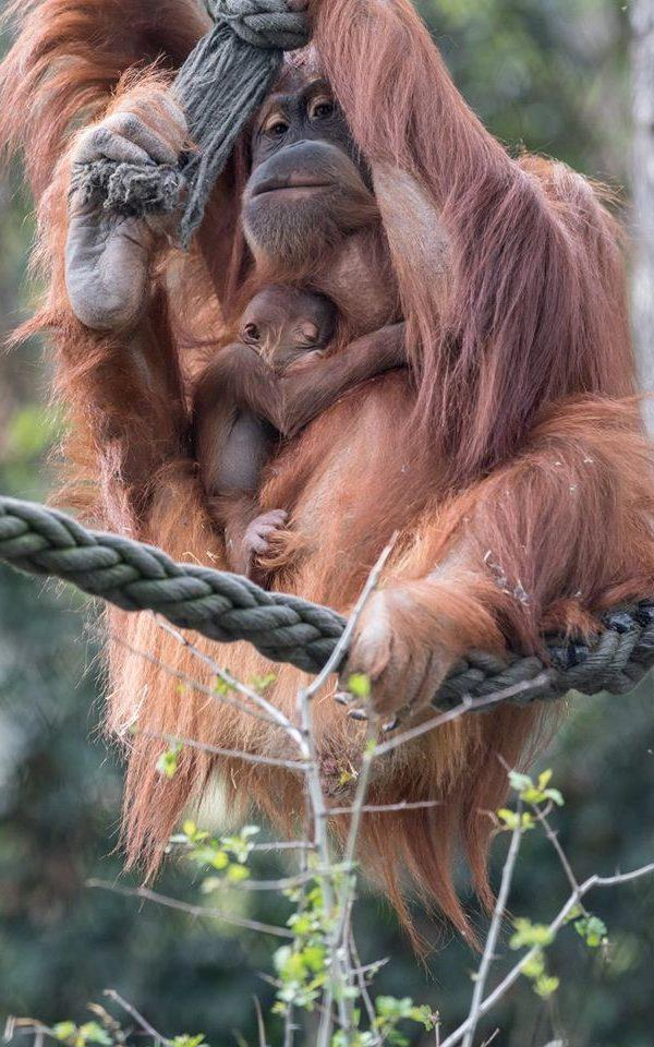 The identity of the father is unknown as Kila shares the enclosure with three males - Credit:  Zoo Basel (Torben Weber)