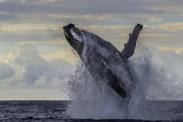 Massive humpback whale breach off the east coast of South Africa during the annual migration of whales north during the winter months.