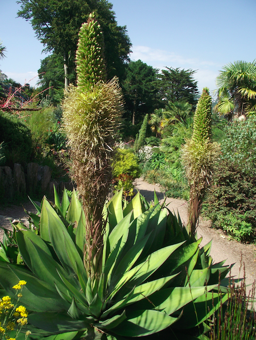 <em>The plant is currently blooming at the National Trust's Overbeck's house and gardens (PA)</em>
