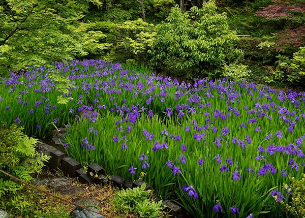 """""""Irises at the Konin-tei"""" are at their best in Early summer, from the middle of April to the middle of May."""