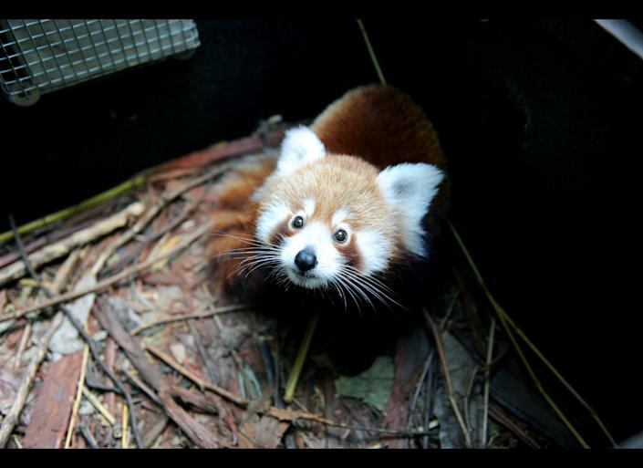 In this handout image provided by Taronga Zoo, Seba, a baby Red Panda, explores his new home at Taronga Zoo on April 7, 2011 in Sydney, Australia. The Red Panda cub was born at Christmas and is the 45th to be born at the zoo since 1977