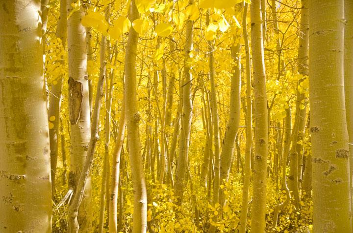 Eastern Sierra Nevada Mountains, California - Within California's chilled Eastern Sierra Nevada Mountains a large group of aspens radiate with golden warmth when hit by the afternoon sun. © World Wildlife Fund/Chris Giordano