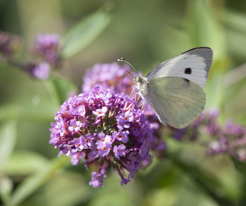 """<p>Known as the butterfly bush (they are a favourite nectar source for butterflies), this fragrant flower is the ultimate mood-boost. Be sure to plant them in spring next year to ensure they flourish. </p><p><a class=""""link rapid-noclick-resp"""" href=""""https://www.dobies.co.uk/flowers/shrubs/buddleia-plants/buddleja-butterfly-towers_mh7961"""" rel=""""nofollow noopener"""" target=""""_blank"""" data-ylk=""""slk:BUY NOW VIA DOBIES"""">BUY NOW VIA DOBIES</a></p>"""