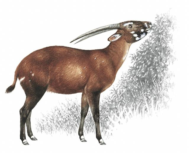 Only found in Laos and Vietnam, these Asian unicorn are extremely threatened due to loss of habitat.