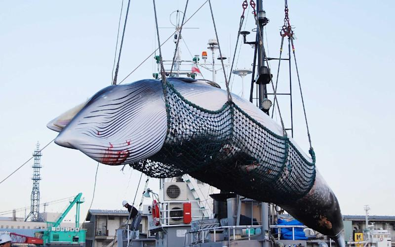 A Minke whale being lifted by a crane during the North Pacific research whaling programme at Kushiro port in 2017 - AFP