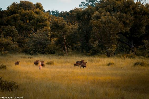 Warthog and antelope in Chinko Nature Reserve in the Central African Republic (Kelsey Green (African Parks))