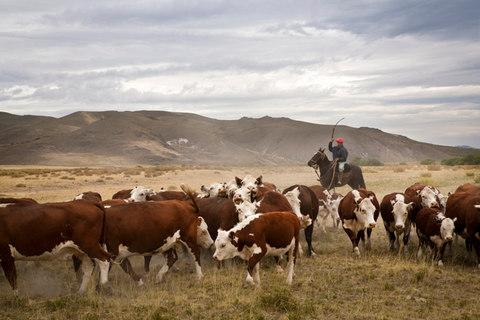 Gauchos with cattle at the Huechahue Estancia, Patagonia - Credit: Getty