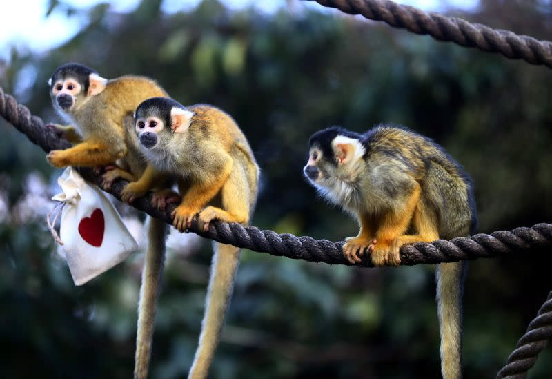 Black capped squirrel monkeys are fed treats from Valentines Day themed bags during a photo-call at ZSL London Zoo in London