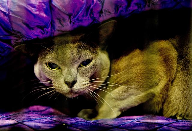 <p>Clarkesfield Queen Elsa, a Blue Burmese Cat participates in the GCCF Supreme Cat Show at National Exhibition Centre on October 28, 2017 in Birmingham, England. (Photo: Shirlaine Forrest/WireImage) </p>