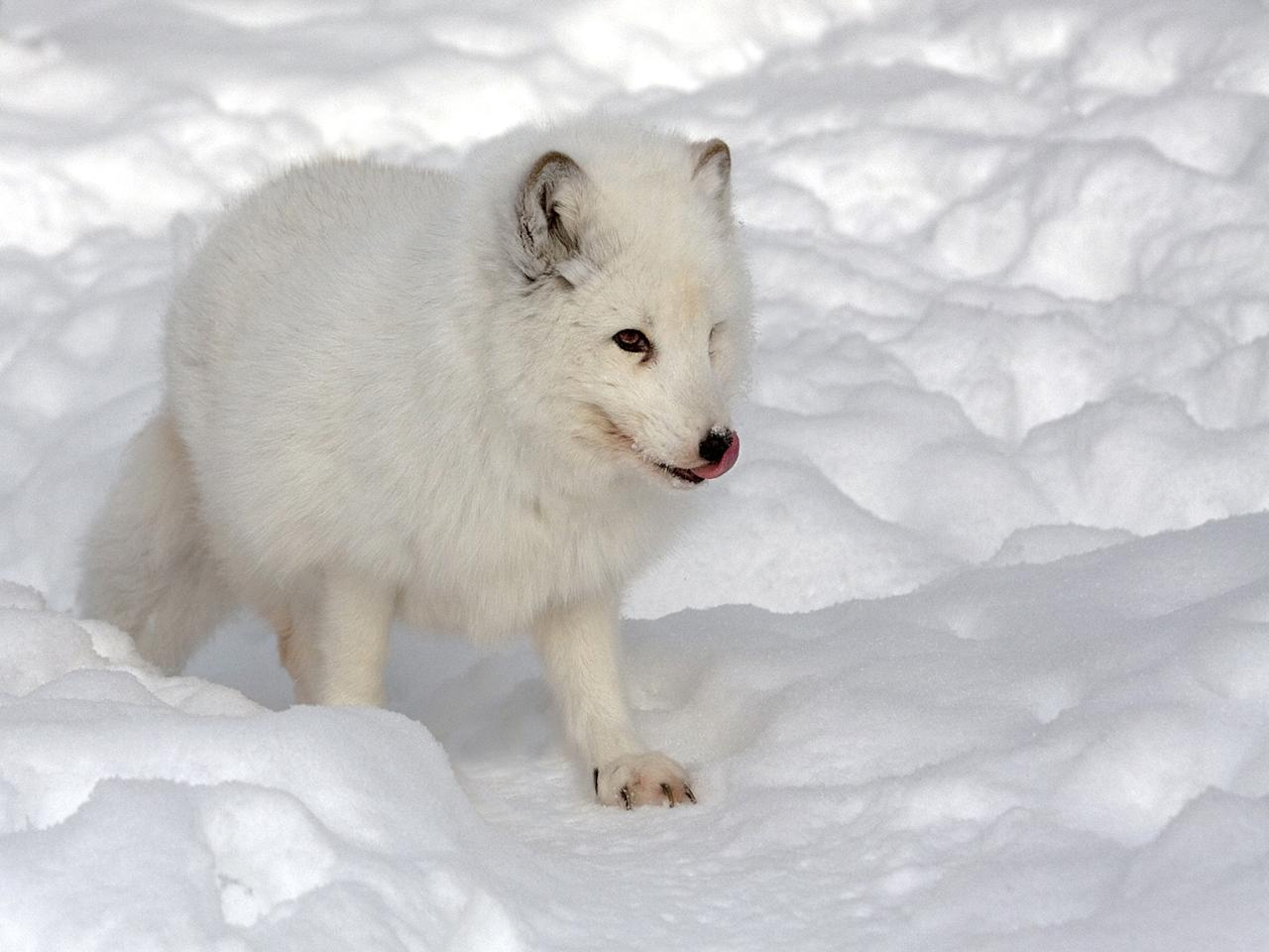 <p>A snow fox. These stunning images capture wildlife in its natural habitats as part of a new exhibition. Wildlife From Around the World, will include 72 pictures and runs for a month later this year at Patching Art Centre at Calverton </p>