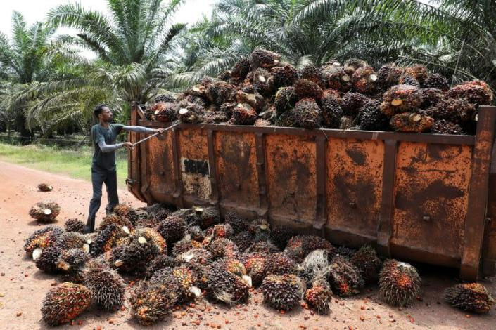 Worker loads palm oil fruit bunches at a plantation in Slim River