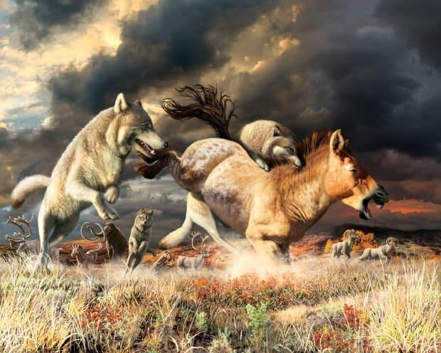 This painting shows grey wolves attacking an ancestor of a horse as would have happened in Beringia thousands of years ago. The horses were a wolf's main source of food, but new research says when the horses vanished, they were able to adapt by finding new prey. (Julius Csoto/Yukon Beringia Interpretive Centre - image credit)