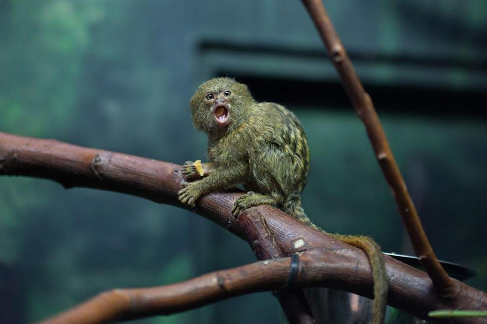 """<p>The San Diego Zoo says that these monkeys weigh <a href=""""https://animals.sandiegozoo.org/animals/pygmy-marmoset"""" rel=""""nofollow noopener"""" target=""""_blank"""" data-ylk=""""slk:about as much as a stick of butter."""" class=""""link rapid-noclick-resp"""">about as much as a stick of butter.</a> Growing to 4.6 to 6.2 inches and weight 3 to 5 ounces, they are the smallest monkey on the planet. </p>"""