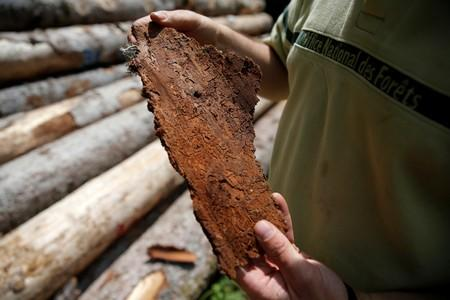 An employee of the ONF (French national forests office) looks at the bark of a tree marked by traces of bark beetles near Masevaux