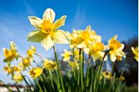 """<p>Since the daffodil (narcissus), is one of the first flowers of spring, it's often associated with <a href=""""https://go.redirectingat.com?id=74968X1596630&url=https%3A%2F%2Fwww.ftd.com%2Fblog%2Fcelebrate%2Fbirth-flowers-what-they-say-about-you&sref=https%3A%2F%2Fwww.goodhousekeeping.com%2Flife%2Fparenting%2Fg30534140%2Fmarch-baby-facts%2F"""" rel=""""nofollow noopener"""" target=""""_blank"""" data-ylk=""""slk:rebirth, new beginnings, and even prosperity"""" class=""""link rapid-noclick-resp"""">rebirth, new beginnings, and even prosperity</a>. But be sure to be generous with them: Daffodils must be given in bunches — a lone daffodil is said to <a href=""""https://go.redirectingat.com?id=74968X1596630&url=https%3A%2F%2Fwww.teleflora.com%2Fmeaning-of-flowers&sref=https%3A%2F%2Fwww.goodhousekeeping.com%2Flife%2Fparenting%2Fg30534140%2Fmarch-baby-facts%2F"""" rel=""""nofollow noopener"""" target=""""_blank"""" data-ylk=""""slk:foretell misfortune"""" class=""""link rapid-noclick-resp"""">foretell misfortune</a>.</p>"""