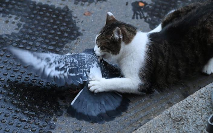Larry the cat lays into an early Christmas lunch outside Downing Street this morning - FACUNDO ARRIZABALAGA/EPA-EFE/Shutterstock