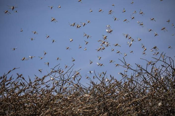 "A swarm of desert locusts flies over an acacia tree in a remote part of Somalia. <span class=""copyright"">(Will Swanson / For The Times)</span>"