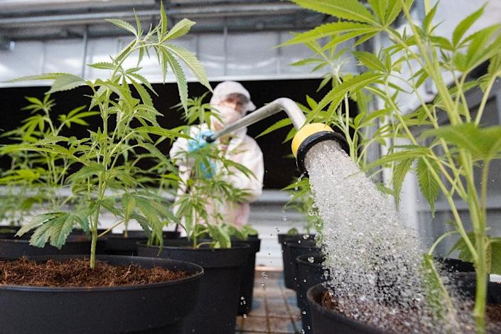 An employee of cannabis start-up Up waters a marijuana plant in Lincoln, Canada (AFP Photo/Lars Hagberg)