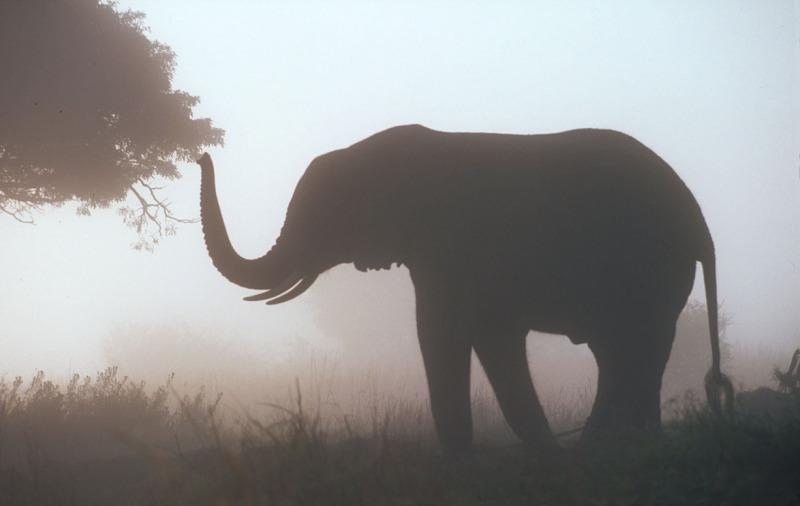 African elephant In the early morning mist Zimbabwe