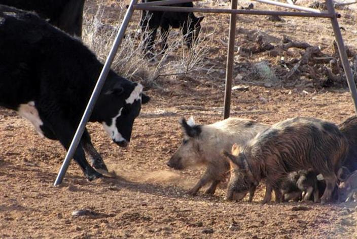 This undated image provided by the U.S. Department of Agriculture Wildlife Services shows a group of feral pigs protecting a feeding area from livestock. The federal agency has teamed up with the state of New Mexico and others as part of a $1 million pilot project to eradicate pigs from the state. Nationally, federal officials say the feral pig population has ballooned to an estimated 5 million. (AP Photo/Courtesy of the U.S. Department of Agriculture Wildlife Services)