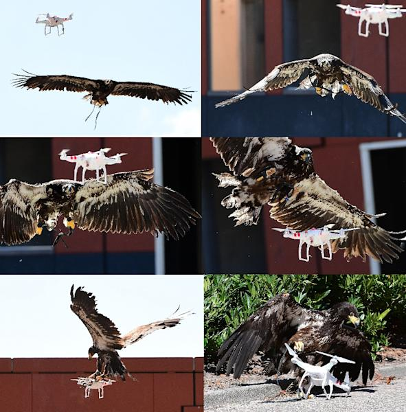 In this combo image, a young eagle trained to catch drones displays its skills during a demonstration organized by the Dutch police in Ossendrecht on September 12, 2016 (AFP Photo/Emmanuel Dunand)