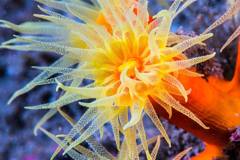 <p>The brightly colored Orange Cup Coral (which belongs to the Dendrophylliidae family) doesn't depend on sunlight, so it can live in the deep sea or caves. </p>